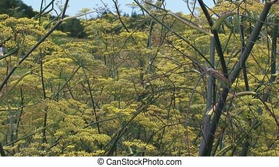 Fennel, Foeniculum vulgare, blooming - full screen Fennel...