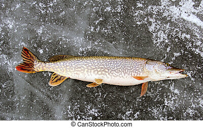 Northern Pike Ice Fishing - Northern Pike on the ice after...