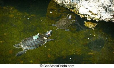Baby turtle sits motionless on its mothers shell as she...