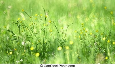 Selective Focus of Buttercups in the Field - FullHD video -...