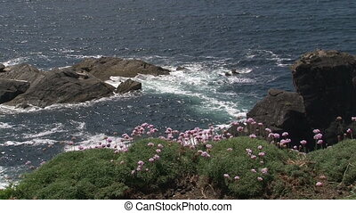 Sea-or Pink Thrift flowering - Sea Thrift Armeria maritima...
