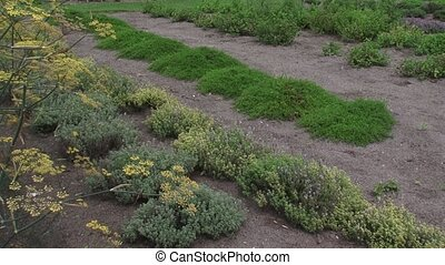 Rows of low growing herbs, thyme and savory in herb garden.
