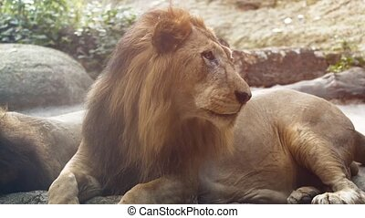 Big, Male Lion, Resting at the Zoo - 1920x1080 video - Big,...