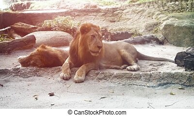 Pair of Big Male Lions, Resting at the Zoo - Video 1080p -...