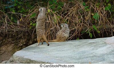 Family of Meerkats, Hanging out at the Zoo - FullHD video -...