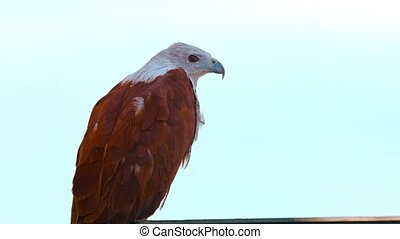 Solitary Brahminy Kite against a Gray Sky - FullHD video -...