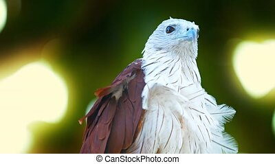 Solitary Brahminy Kite Watches from his Perch - FullHD video...