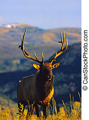 Bull Elk - a big bull elk on a mountain ridge