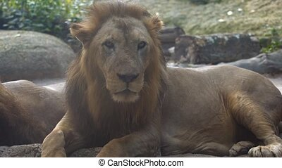 Male African Lion, Resting at the Zoo - FullHD video -...