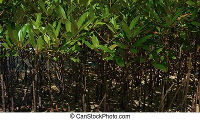 Cluster of Young Mangrove Trees at Low Tide - FullHD video -...