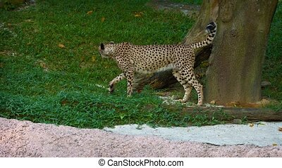 Lone, Male Cheetah Marks his Territory - FullHD video -...