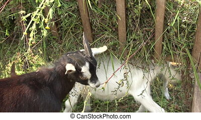 goat eating grass on the farm