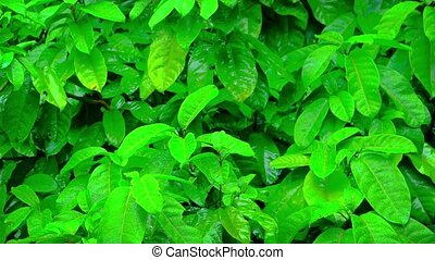 Wet, Glistening Plant Leaves in the Rain - Bright green,...