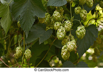 Fruits of hops in a forest glade - Fruits of hops, sagging...