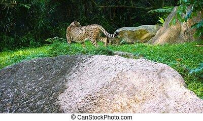 Lone Cheetah Strolling through the Grass - Video 1080p -...