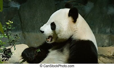 Giant Panda Munching Bamboo Leaves at the Zoo - Happy and...