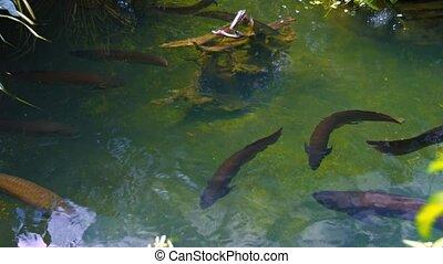Group of Arowanas in a Pond - Group of red-brown arowanas,...