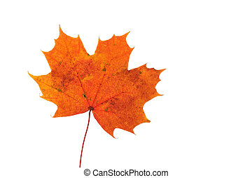 Leaf of the maple.