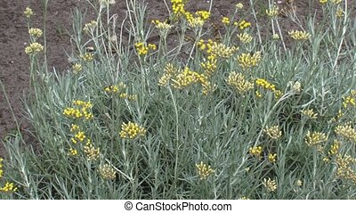 Helichrysum italicum or curry plant blooming