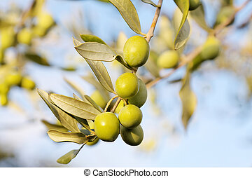 Olive branch - detail of fresh olive branch in autumn