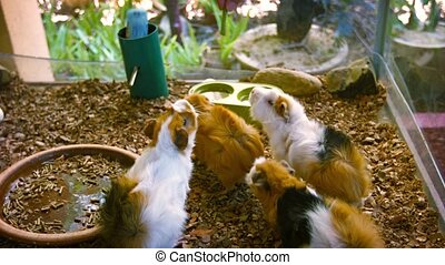 Adorable Guinea Pigs Being Fed Vegetables by Hand - Video...