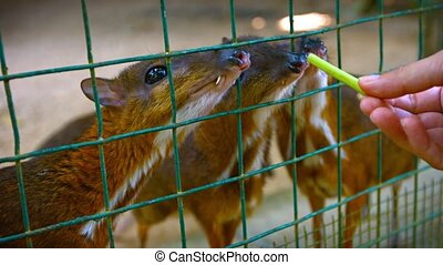Tourist Feeding Treats to Adorable Mouse-Deer at Petting Zoo...