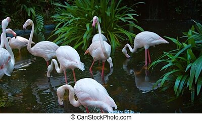 Flamboyance of Flamingos, Grazing in a Pond at a Bird Park