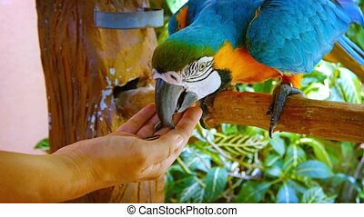 Friendly and Colorful Macaw Eating from Tourist's Hand -...