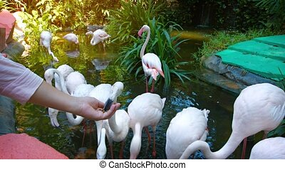 Tourist Feeding Greater Flamingos at an Interactive Zoo...