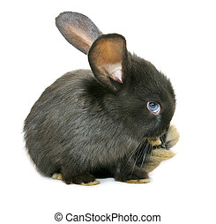 Black rabbit isolated on white background