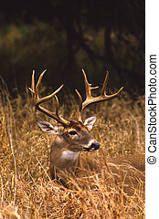 Whitetail buck Portrait - a close up portrait of a trophy...