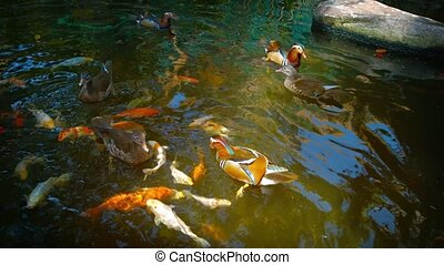 Mandarin Ducks and Japanese Koi Competing for Hand Thrown...