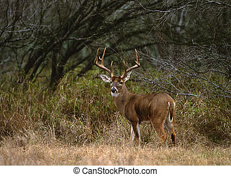 Big Whitetail Buck - a big whitetail buck standing in a...