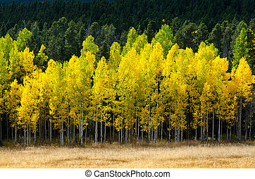 Aspen Front Line - Brillitant yellow aspen trees behind tan...