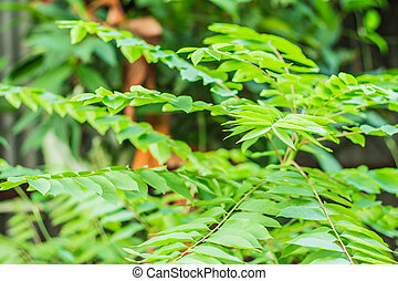 green leaves in the forest. - Gooseberry and green leaves in...