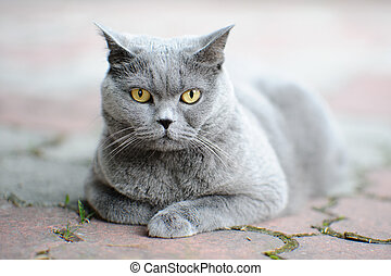 British shorthair cat outdoors