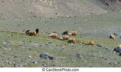 flock of sheep on mountain pasture