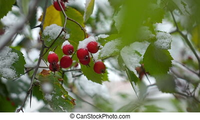 hawthorn berries in the snow - green leaves and red berries...