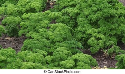 Curled parsley, Petroselinum crispum - Parsley plants,...