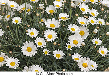 Blooming marguerites - Marguerites in bloom