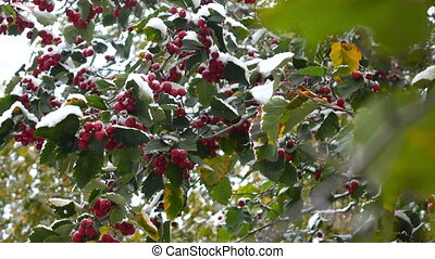 hawthorn berries in the snow 3 - green leaves and red...