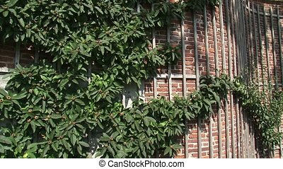 Medlar fruit tree growing on a crinkle crankle garden wall...