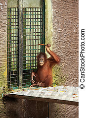 Orangutan Photographed at a zoo