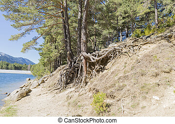 Tree roots - where tree roots are seen off the ground