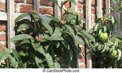 Medlar and pear fruit tree growing on a crinkle crankle...