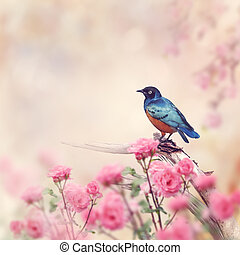Superb Starling Bird - Superb Starling Perches in the Rose...