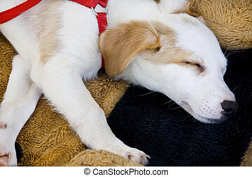 Domestic dog sleeping - View from above of a white and small...
