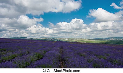 Big field with the blossoming lavender in summer day,...