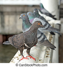 pigeon on balustrade - pile of pigeon stand on the...