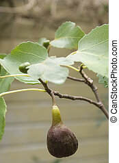 Fig on tree